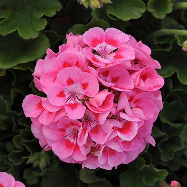 Zonal Geranium 'Sunrise Hot Pink'