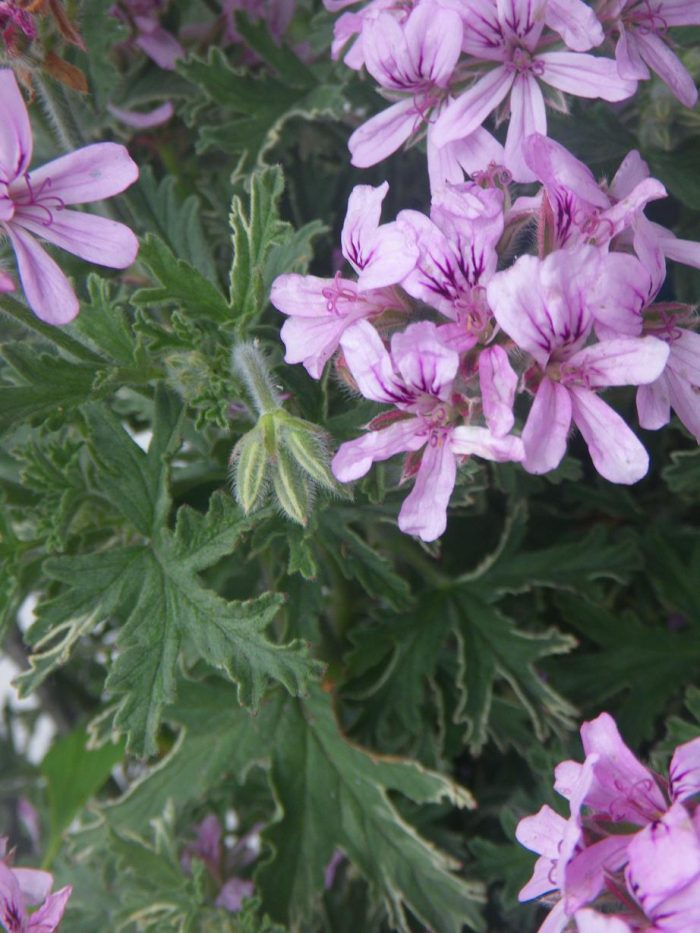 Scented Geranium 'Lady Plymouth'