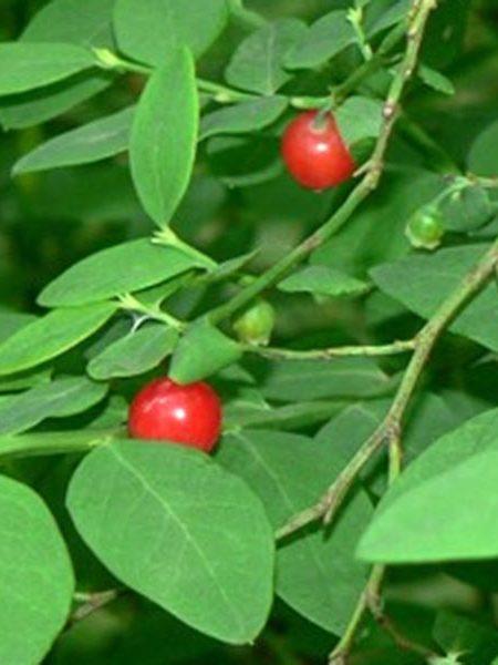 Huckleberry 'Red Huckleberry'