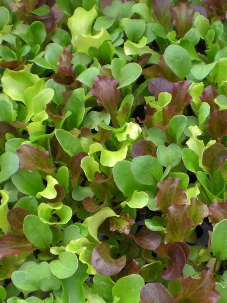 Lettuce 'Gourmet Salad Mix'