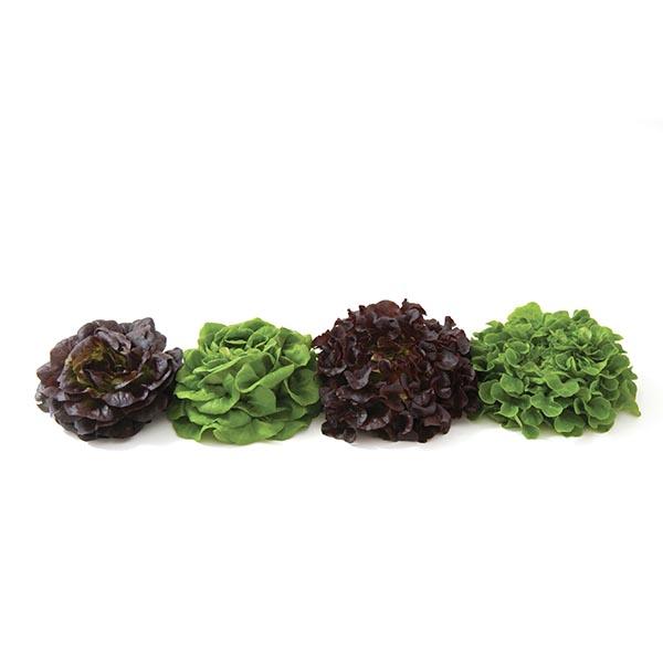 Lettuce 'Salanova Premier Collection'