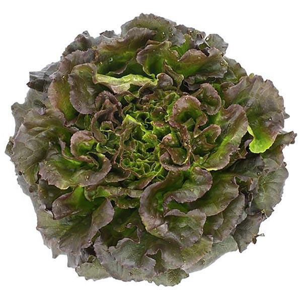 Lettuce 'Salanova Red Batavia'