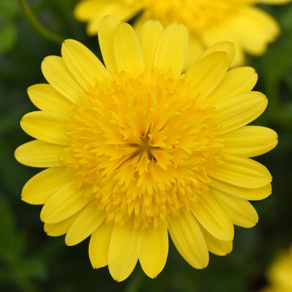 Osteospermum '4D Double Yellow'