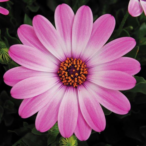Osteospermum Flower Power Compact Light Pink