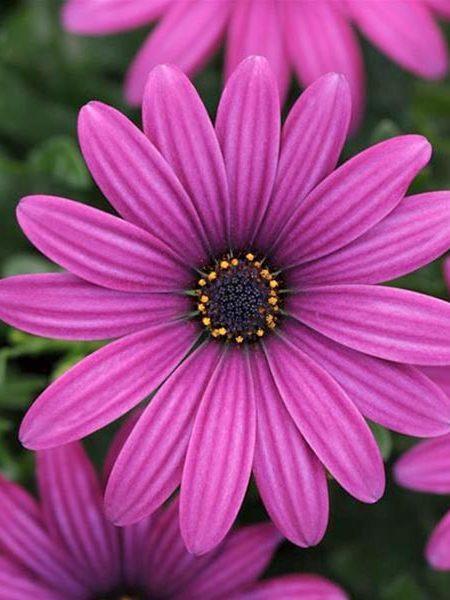 Osteospermum 'Flower Power Compact Purple Red'