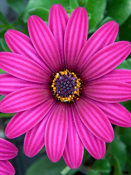 Osteospermum 'Flower Power Compact Purple'