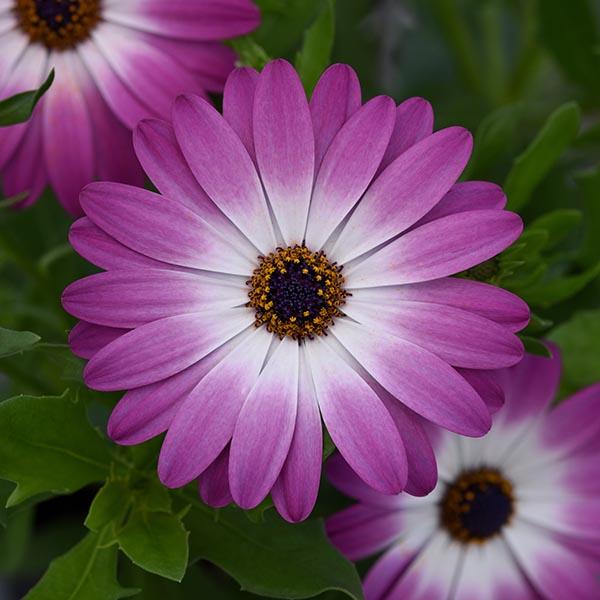 Osteospermum 'Flower Power Compact Violet Eye'
