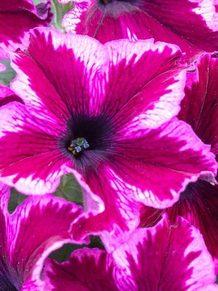 Petunia 'Crazytunia Cosmic Pink'
