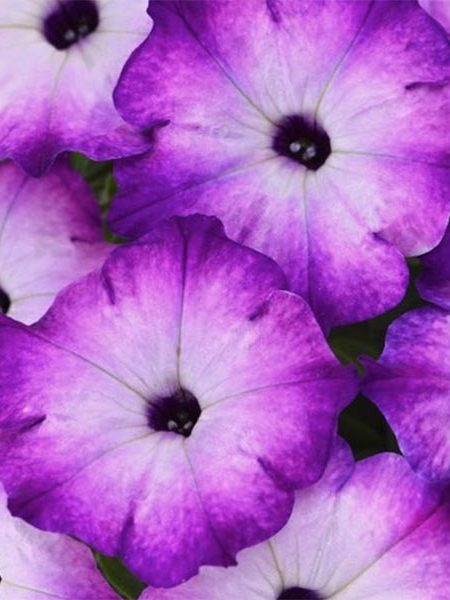 Petunia 'Crazytunia Purple Storm'