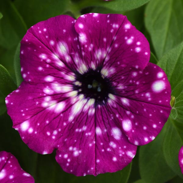 Petunia 'Headliner Electric Purple Sky'