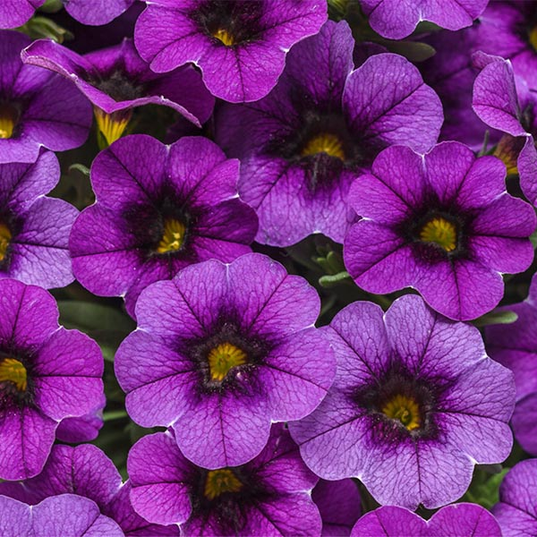 Petunia 'Calibrachoa Superbells Grape Punch'