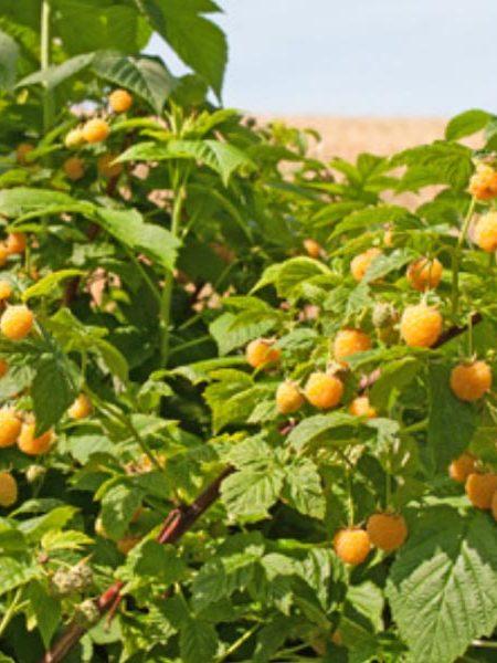 Raspberry 'Cascade Gold'