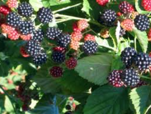 Blackberry 'Navaho'