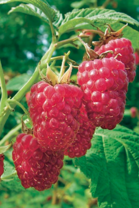 Raspberry 'Meeker'