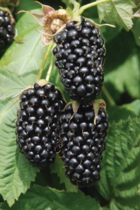 Blackberry 'Columbia Star'