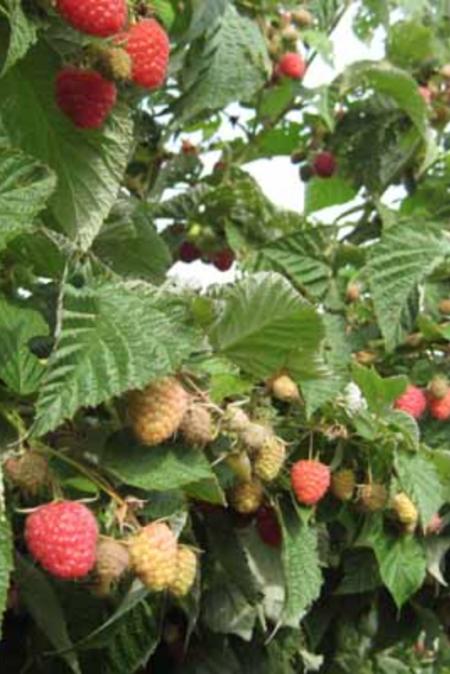 Raspberry 'Nantahala'