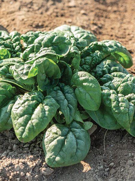 Spinach 'Equinox'