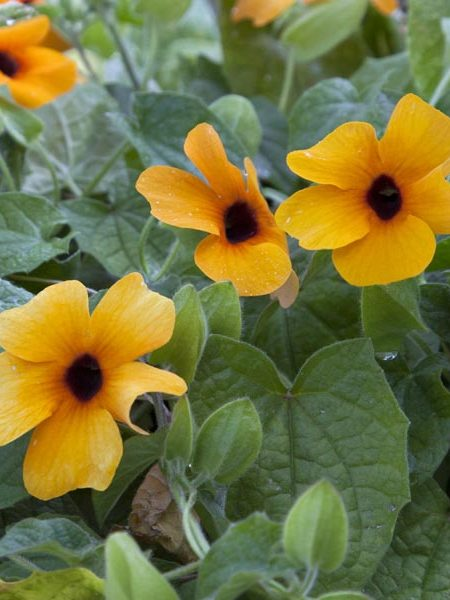 Thunbergia 'Sunny Susy Apricot'