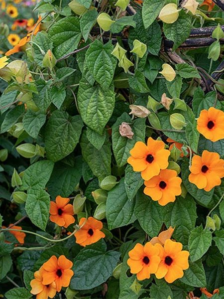 Thunbergia 'Sunny Susy New Orange'