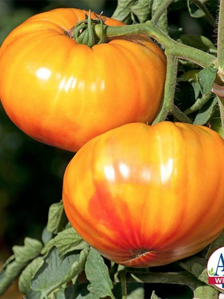 Tomato 'Buffalosun'