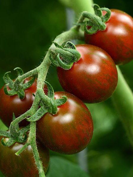 Tomato 'Chocolate Sprinkles'