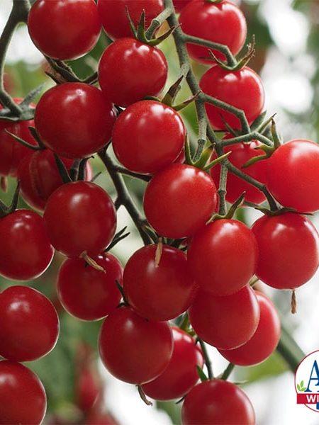 Tomato 'Crokini'