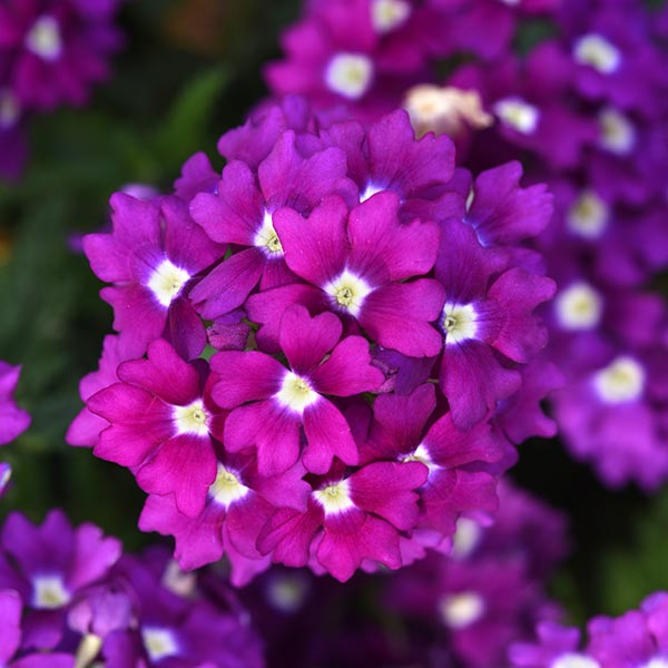 Verbena 'Firehouse Violet Wink'