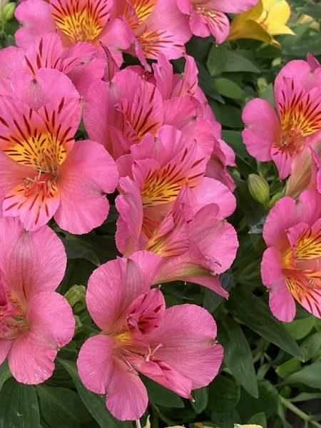 Alstroemeria 'Colorita Eliane'