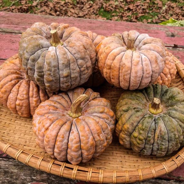 Chefs' Favorites Squash 'Black Futsu' Cucurbita moschata
