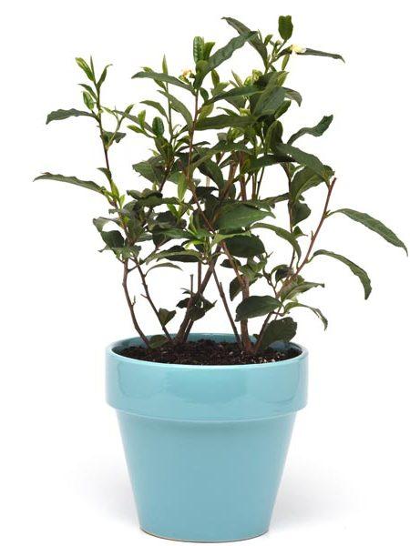 Camellia sinensis 'Brew-Tea-Ful'