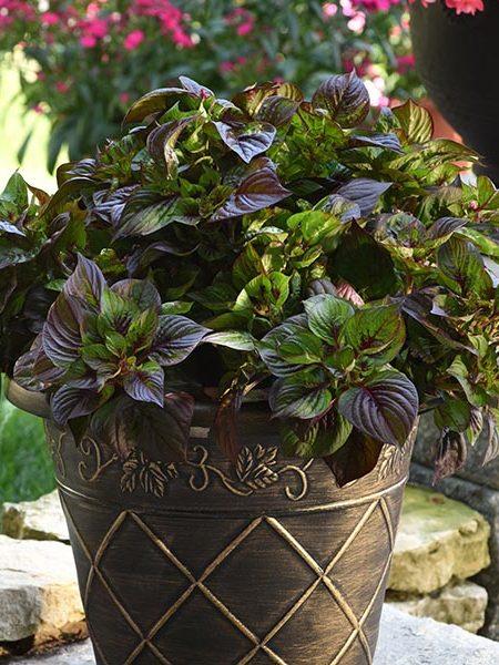 Celosia argentea 'Gekko Green'