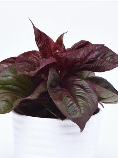 Celosia argentea 'Lizzard Leaf'