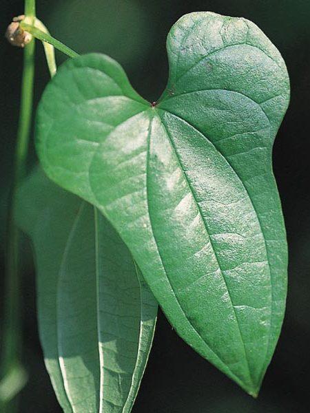 Cinnamon Vine dioscorea batatas