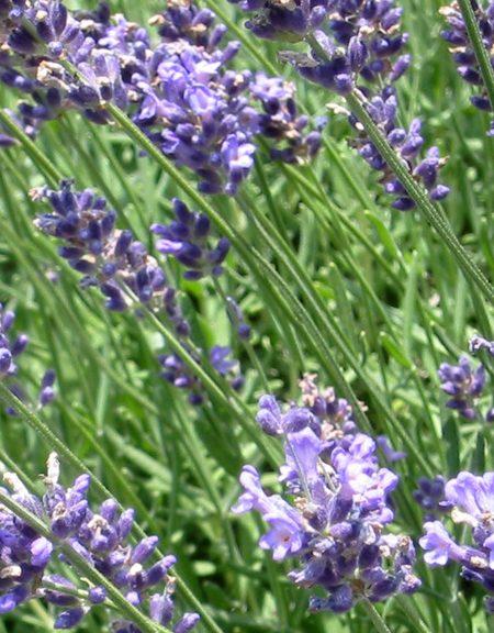 Lavender 'Dutch'