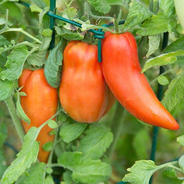 Tomato 'Opalka'