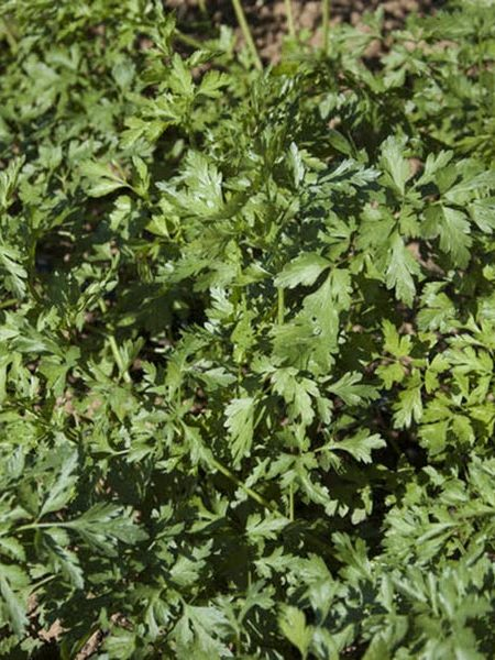Chefs' Favorites Parsley 'Hungarian Landrace'