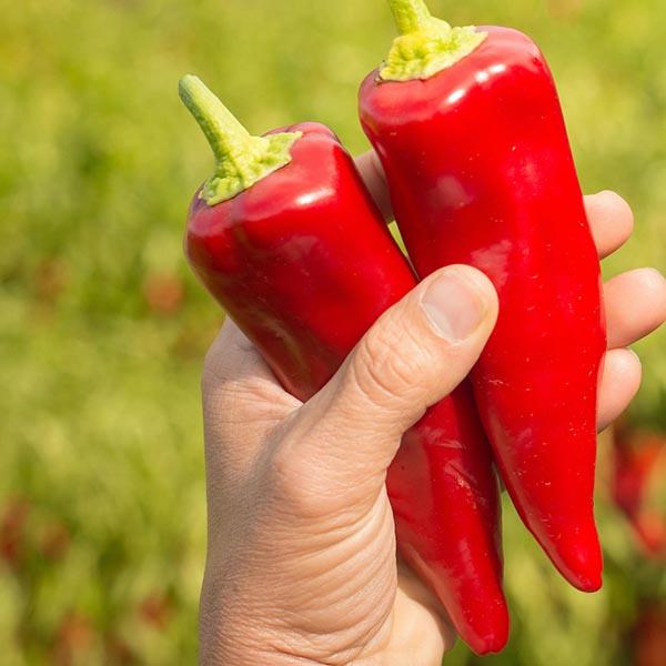 Chefs' Favorites Pepper 'Stocky Red Roaster'