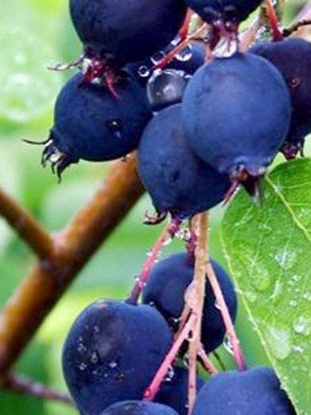 Serviceberry 'Martin'