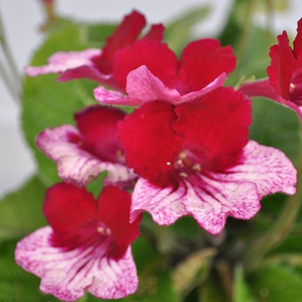 Streptocarpus 'Red Bicolor'