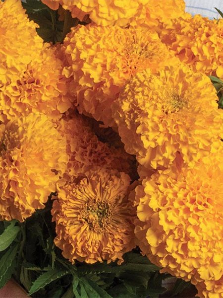 Tagetes erecta 'Coco Gold'