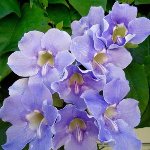Thunbergia grandiflora Sky Blue Vine