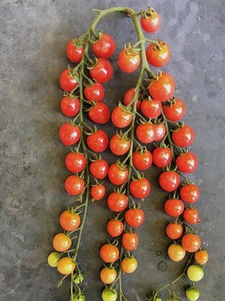 Suitcase Seeds Tomato 'Pinky'