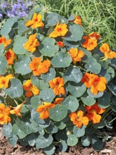Tropaeolum minus 'Baby Orange'