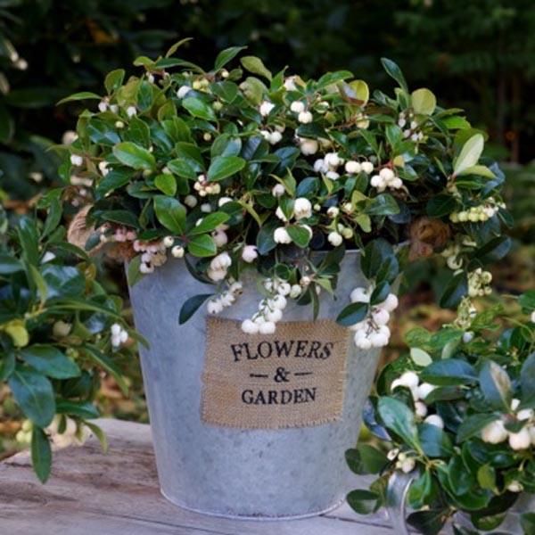 Wintergreen 'Peppermint Pearl'