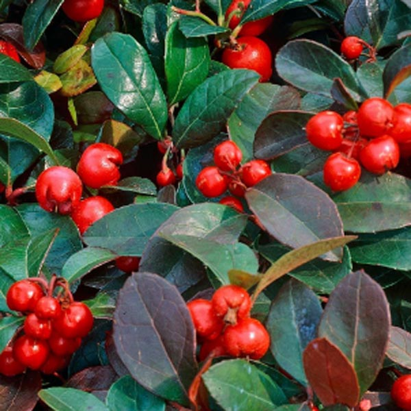 Wintergreen 'Red Berries'