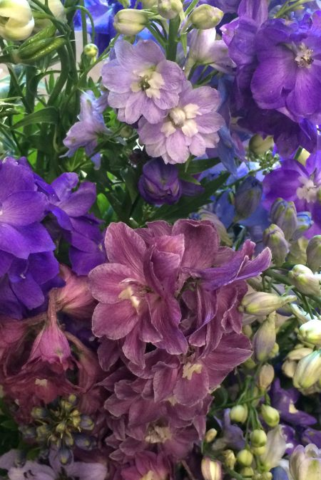 Delphinium English Hand Crossed Hybrids