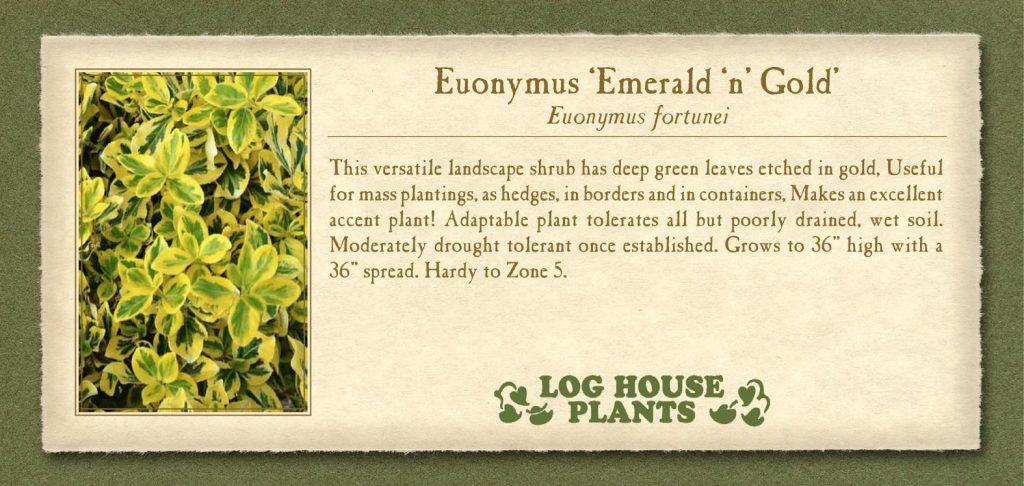 Euonymus Emerald-n-Gold