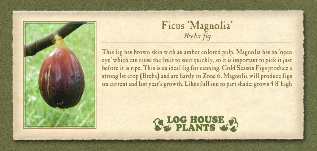 Fig Magnolia