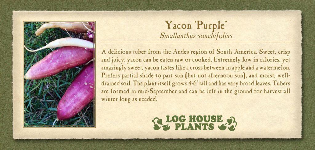 Yacon Purple