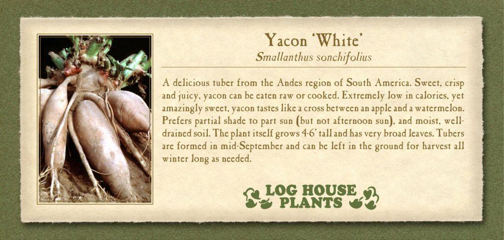 Yacon White
